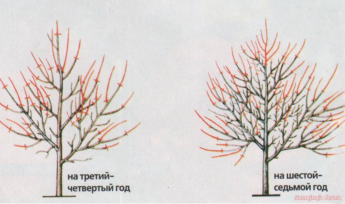 летняя обрезка черешни схема