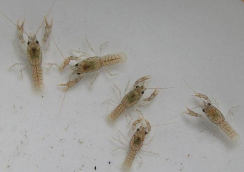 Личинки в компосте. Личинки медведки, бронзовки, майского жука 51