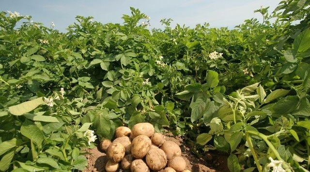 Картофель выращивание и болезни 10