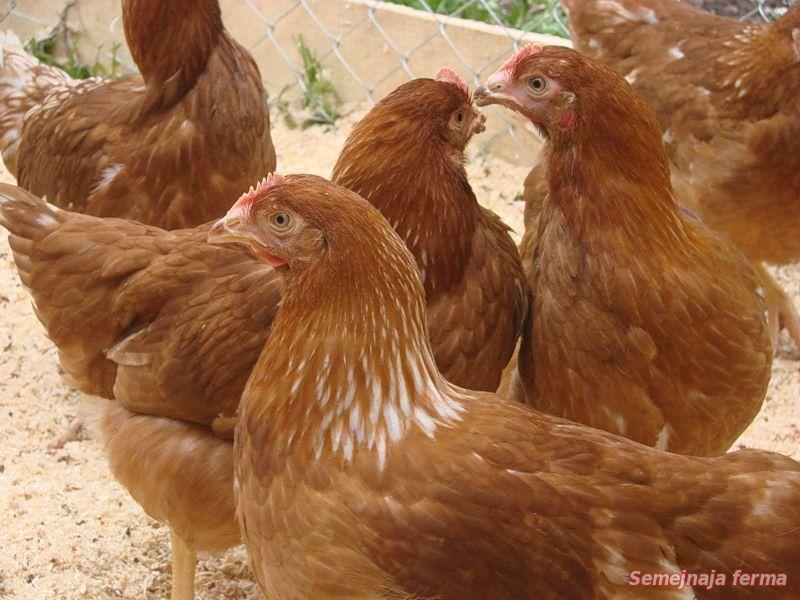 Уход и содержание кур хайсекс 4 месячные цыплята