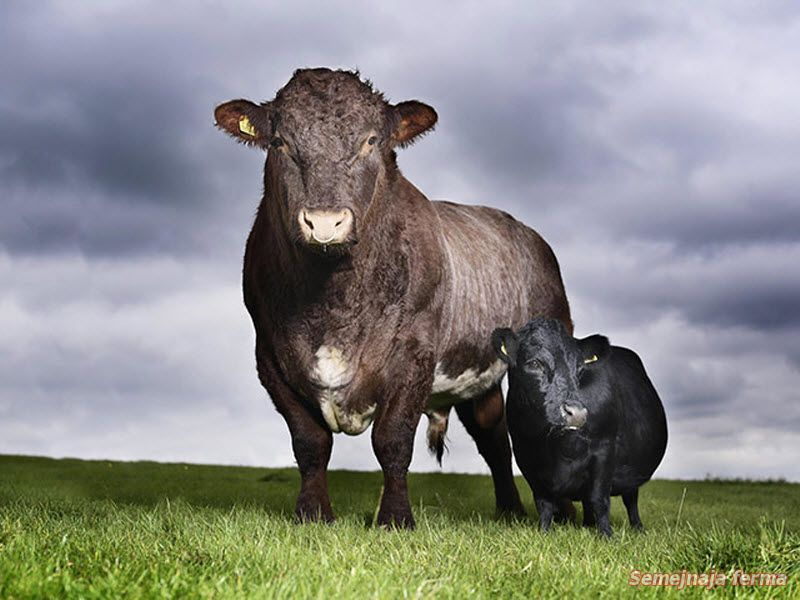 мини корова