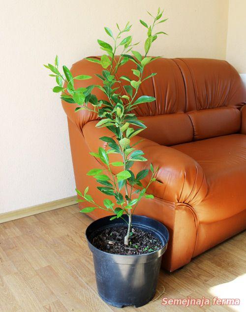 Как ухаживать за мандаринам в домашних условиях