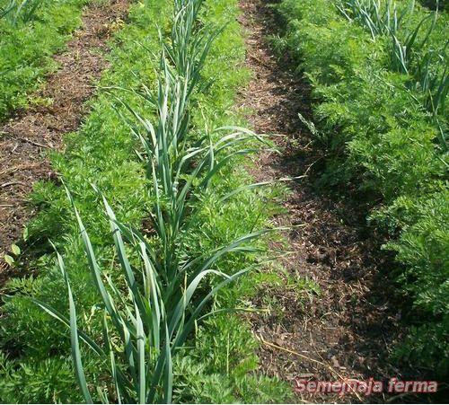 Фермерру выращивание моркови 8