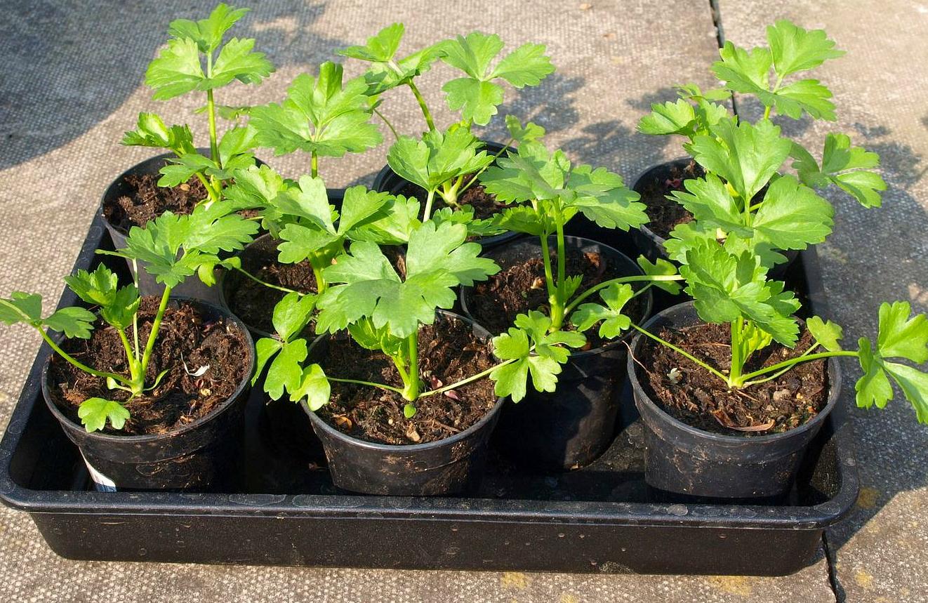 8 важных овощных растений, выращиваемых рассадой 71