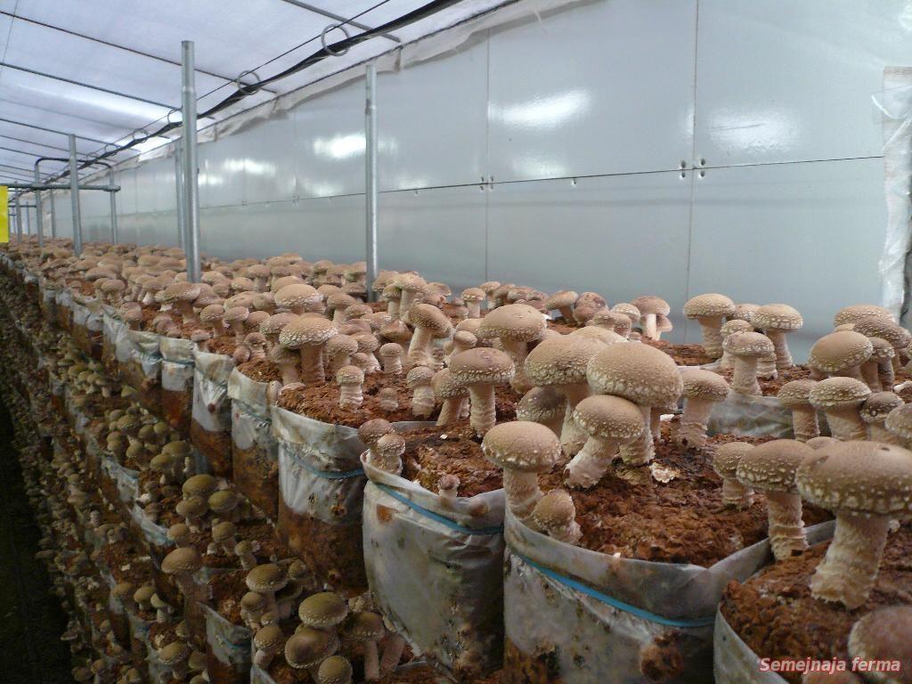 Грибы шиитаке выращивание домашних условиях