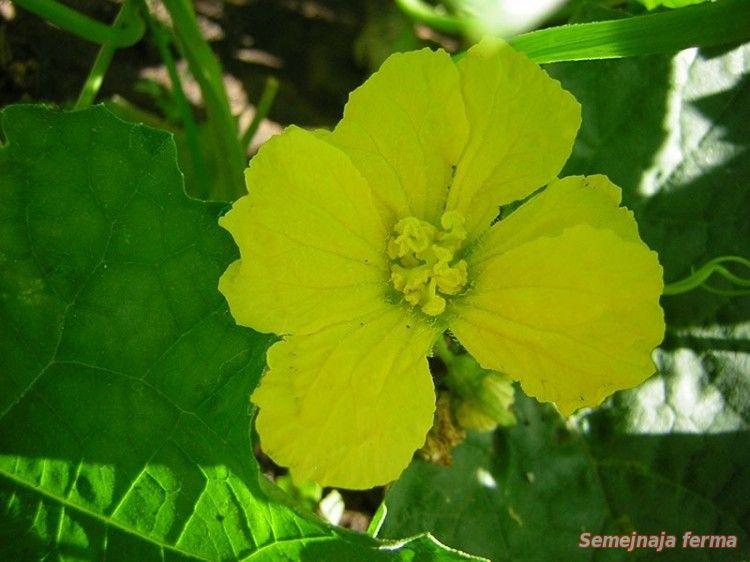 Цветок люффа